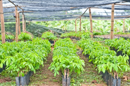 Seedlings of rubber trees on a plantation in Thailand  photo