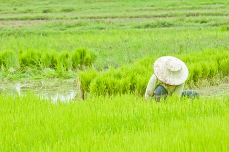 Thai farmer planting on the paddy rice farmland, Thailand  photo