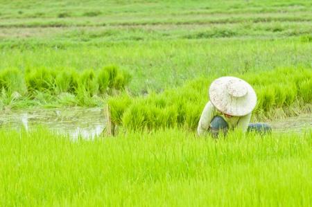 Thai farmer planting on the paddy rice farmland, Thailand  photo