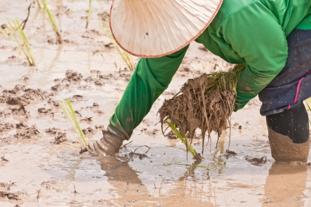staple food: Farmers are planting rice A staple food in Thailand