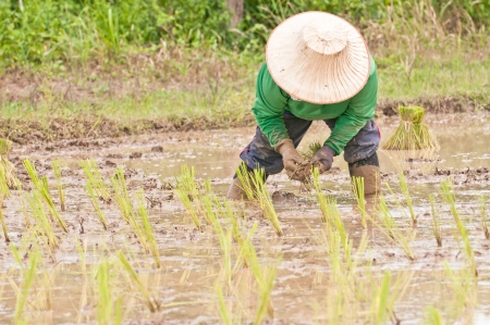 Farmers are planting rice A staple food in Thailand   photo