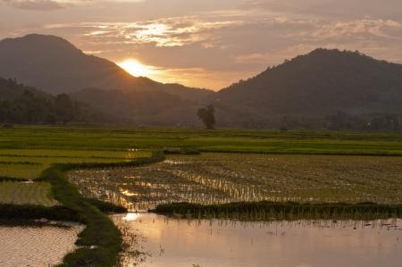 Sunset on green rice farm  photo