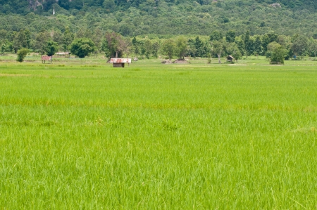 green sprout rice field in thailand Stock Photo - 14484809