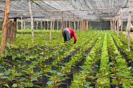 Seedlings of poinsettia plant on a plantation in Thailand  photo