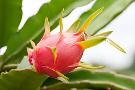 dragon fruit on a tree  Stock Photo