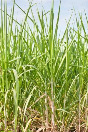 sugarcane plantation Stock Photo - 14572047