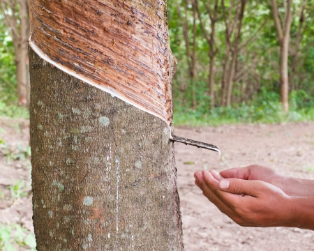 Milk of rubber tree flows into the hand  photo