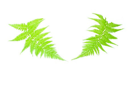 Close up fern leaf isolated on white photo