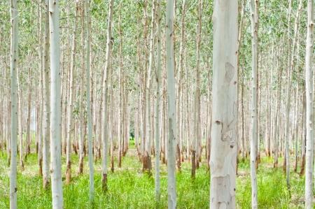 eucalyptus trees: eucalyptus plant field Stock Photo