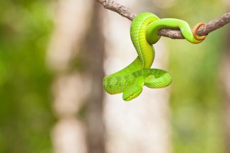 タイの熱帯雨林の緑のヘビ