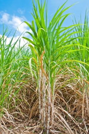 Sugarcane field in blue sky and white cloud in Thailand  Stock Photo - 15694882