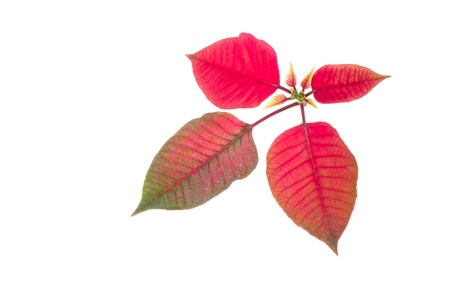 Poinsettia corner border on a white background  photo