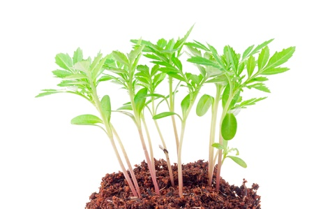 Young green plant on a white background Stock Photo - 16608569