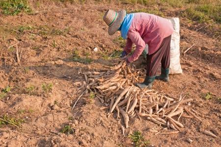 farmer and pile of cassava bulb