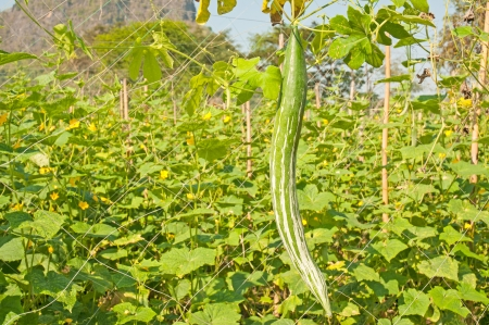snake gourd in the gardens photo