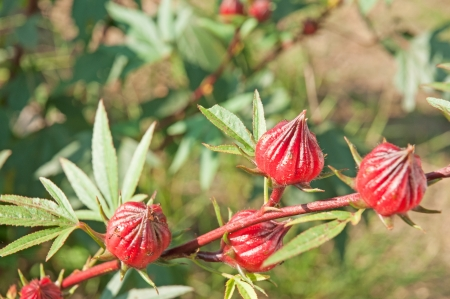 Roselle fruits Stock Photo - 16920874