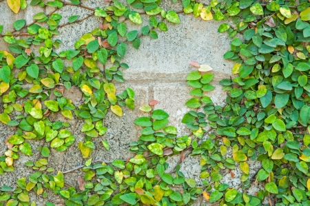 The Green Creeper Plant on a Wall Stock Photo - 17057647