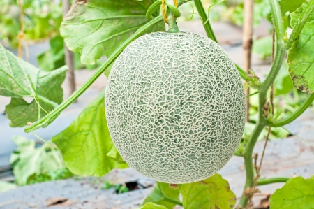 Cantaloupe hanging on tree