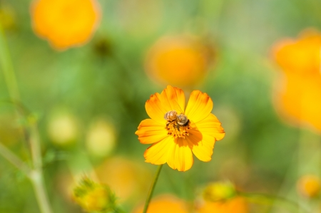 Cosmos flowers, bee photo