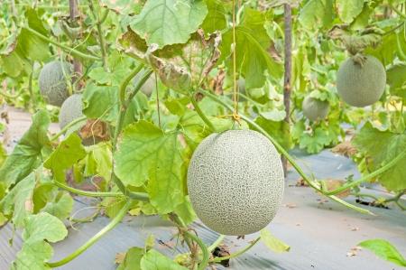 Cantaloupe hanging on tree