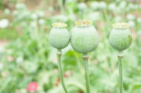 opiate: Opium poppy