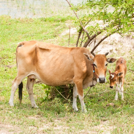 poverty india: Cow on field  Stock Photo