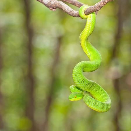 animales de la selva: Ekiiwhagahmg serpientes serpientes verdes en los bosques de Tailandia Foto de archivo