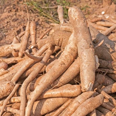 Pile of cassava bulb