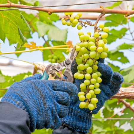Farmer Cutting a Yellow Bunch of Grapes with Shears  Stock Photo