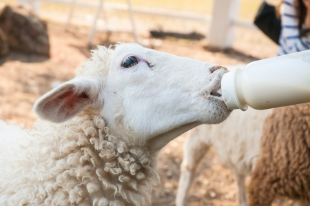 grazier feeding with milk from a bottle of young lambs  photo