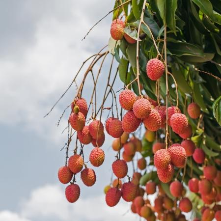 lichi: fresh lychee on tree