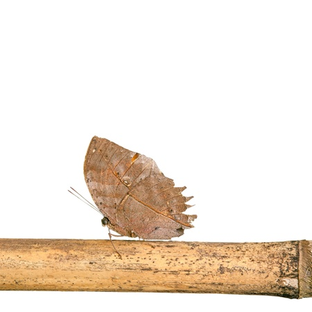 Orange oakleaf butterfly isolated on the white background Stock Photo - 19624959