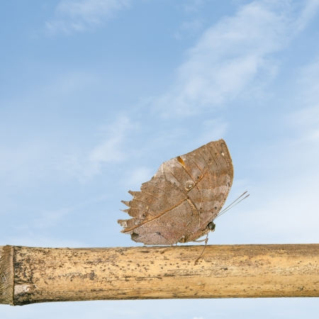 Orange oakleaf butterfly with blue sky Stock Photo - 19624962