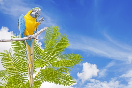 Blue-and-yellow Macaw Ara ararauna on blue sky background photo