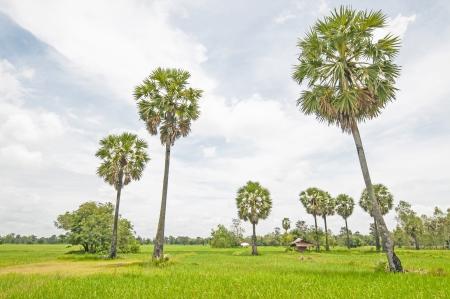 Rice field green grass blue sky cloud cloudy landscape background photo