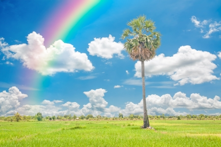 Palm tree and rice field green grass with rainbow on blue sky background photo