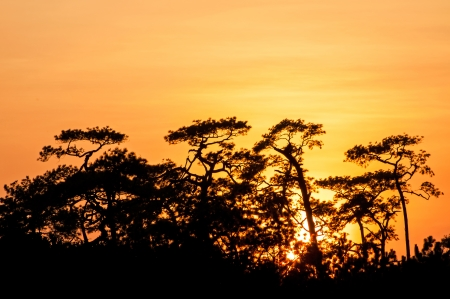 Pine trees in silhouette at sunset photo