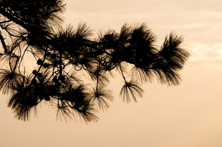 Pine branches in silhouette at sunset  photo