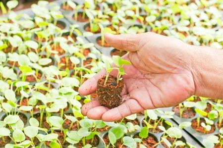 Seedling plants on hand  photo