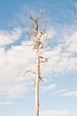 Dead tree against the sky. photo