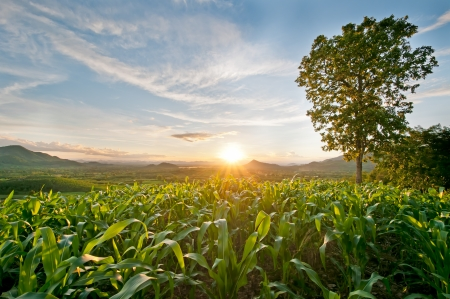 sunset at the corn field Stock Photo - 23421636