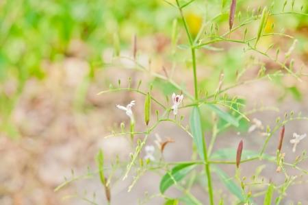 ex: Kariyat, The Creat (Andrographis paniculata Wall ex Ness.) Thailands herbal medicinal properties.