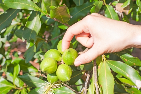hand, macadamia nuts hanging on tree photo