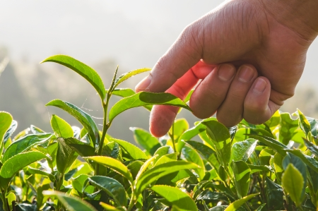 Hand, Green tea bud and fresh leaves in morning