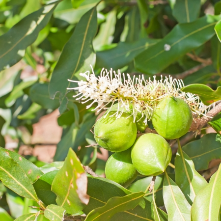 hand, macadamia nuts hanging on tree