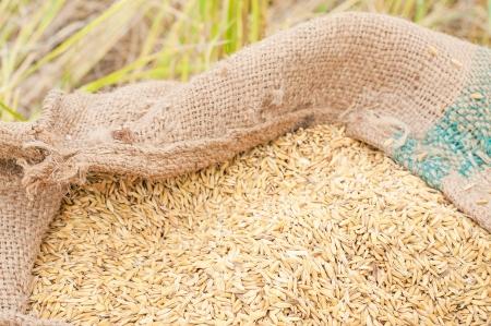 closeup ripe rice at farm photo