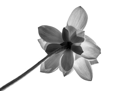 meditation isolated white: Lotus in black and white on white background  Stock Photo
