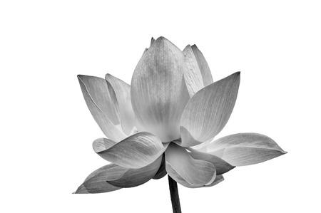 lirio blanco: Lotus en blanco y negro sobre fondo blanco Foto de archivo
