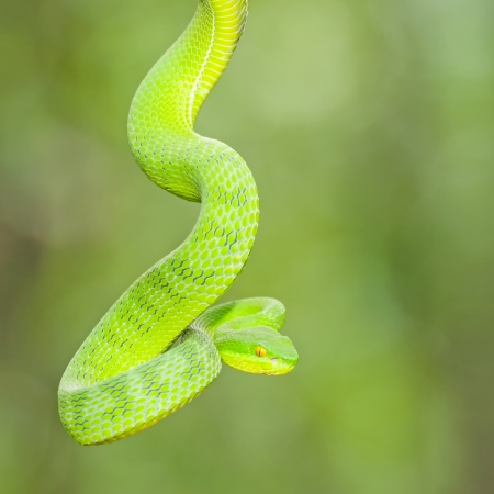 Ekiiwhagahmg snakes (snakes green) in the forests of Thailand Stock Photo - 24128741