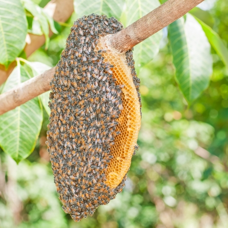 ぶら下がっているミツバチの群れ